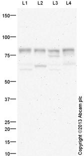 Western blot - Anti-ABLIM3 antibody (ab129480)