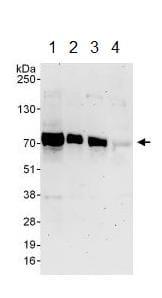 Western blot - Anti-SLAIN1 antibody (ab129502)