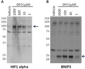 Western blot - Hif1a + BNIP3 Hypoxia Human In Cell ELISA Kit (IR) (ab129733)