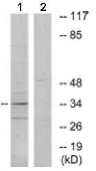 Western blot - Anti-OR10A6 antibody (ab129837)
