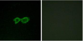 Immunocytochemistry/ Immunofluorescence - Anti-OR13C4 antibody (ab129847)