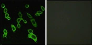 Immunocytochemistry/ Immunofluorescence - Anti-GPR 139 antibody (ab129879)