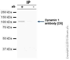 Immunoprecipitation - Anti-Dynamin 1 antibody [D5] (ab13251)