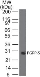 Western blot - Anti-PGRPS antibody [188C424] (ab13903)