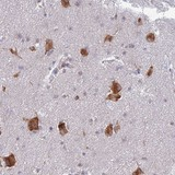 Immunohistochemistry (Formalin/PFA-fixed paraffin-embedded sections) - Anti-ELOF1 antibody (ab130402)