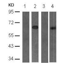 Western blot - Anti-PDPK1 (phospho S241) antibody (ab131098)