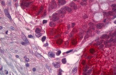 Immunohistochemistry (Formalin/PFA-fixed paraffin-embedded sections) - Anti-NEDD8 antibody (ab131123)