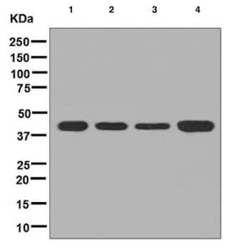 Western blot - Anti-PSMD13 antibody [EPR8524] (ab131164)