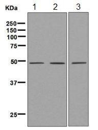 Western blot - Anti-nSMase antibody [EPR6718] (ab131330)
