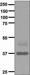 Western blot - Anti-Maltose Binding Protein antibody [EPR4745] (ab133308)