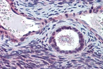 Immunohistochemistry (Formalin/PFA-fixed paraffin-embedded sections) - Anti-ELOVL5 antibody (ab133382)
