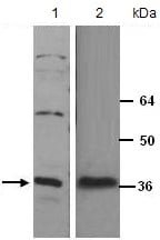 Western blot - Anti-HES5 antibody (ab133424)