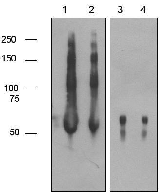 Western blot - Anti-Polyethylene glycol antibody [PEG-2-128] (ab133471)