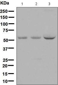 Western blot - Anti-Noelin antibody [EPR6439(2)] (ab133746)