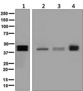 Western blot - Anti-TFPI antibody [EPR7941] (ab134151)