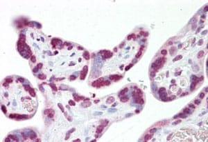 Immunohistochemistry (Formalin/PFA-fixed paraffin-embedded sections) - Anti-JMJD6 antibody (ab134293)