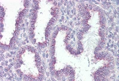 Immunohistochemistry (Formalin/PFA-fixed paraffin-embedded sections) - Anti-RER1 antibody - C-terminal (ab134799)