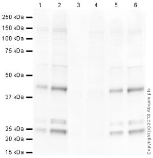 Western blot - Anti-SOX2 (GlcNAc S248) antibody (ab136167)