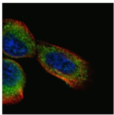 Immunocytochemistry/ Immunofluorescence - Anti-BCAR1 antibody (ab137507)