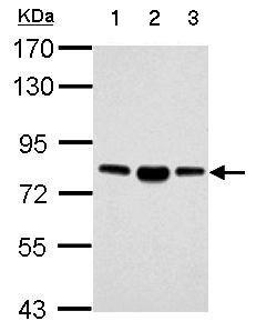 Western blot - Anti-FACL4 antibody - Carboxyterminal end (ab137525)