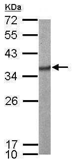 Western blot - Anti-SF2 antibody (ab137532)