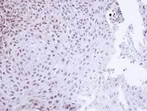 Immunohistochemistry (Formalin/PFA-fixed paraffin-embedded sections) - Anti-Cyclophilin E antibody (ab137538)