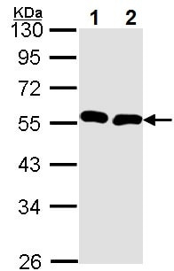 Western blot - Anti-BMP9 antibody - C-terminal (ab137567)