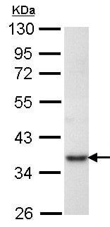 Western blot - Anti-PRPS1 antibody (ab137577)