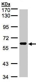 Western blot - Anti-CLK2 antibody (ab137620)
