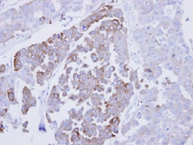 Immunohistochemistry (Formalin/PFA-fixed paraffin-embedded sections) - Anti-ERp29 antibody (ab137670)