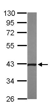 Western blot - Anti-CCN3 antibody (ab137677)