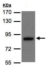 Western blot - Anti-DISC1 antibody - N-terminal (ab137688)