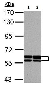 Western blot - Anti-GDF 5 antibody - C-terminal (ab137698)