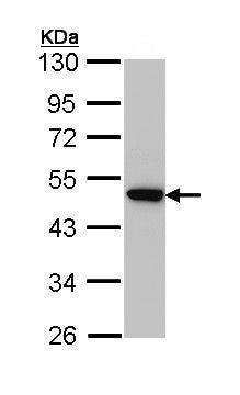 Western blot - Anti-AP2M1 antibody (ab137727)