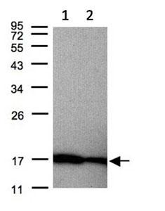 Western blot - Anti-Midkine antibody (ab137793)