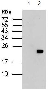 Western blot - Anti-6X His tag® antibody (ab137839)