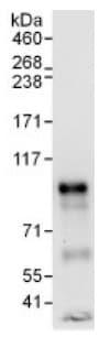 Immunoprecipitation - Anti-APBB2 antibody (ab137888)