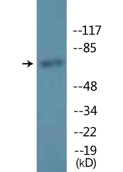 Western blot - Anti-Lamin A (phospho S22) antibody (ab138450)
