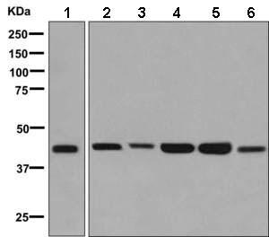 Western blot - Anti-TROY antibody [EPR3213(2)] (ab138502)