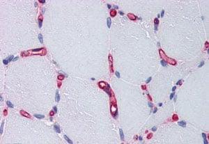 Immunohistochemistry (Formalin/PFA-fixed paraffin-embedded sections) - Anti-Factor VIII antibody (ab139391)