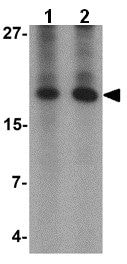 Western blot - Anti-Angiogenin antibody (ab139947)