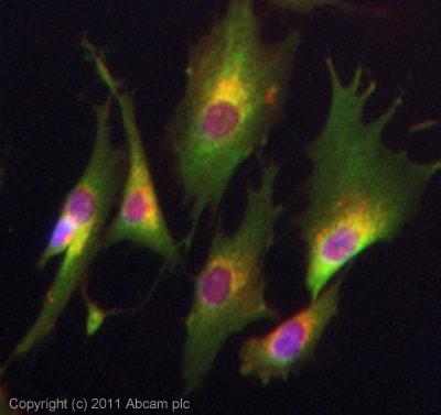 Immunocytochemistry/ Immunofluorescence - Anti-IFI27 antibody (ab14695)