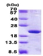 SDS-PAGE - RPL12 protein (His tag) (ab140558)