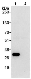 Immunoprecipitation - Anti-RPS3 antibody (ab140688)