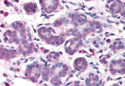 Immunohistochemistry (Formalin/PFA-fixed paraffin-embedded sections) - Anti-OSTC antibody - N-terminal (ab140891)