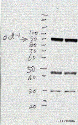 Western blot - Anti-Oct-1 antibody (ab15112)