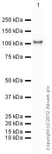 Western blot - Anti-Hexokinase 1 antibody (ab150013)