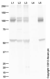 Western blot - Anti-alpha 3 Sodium Potassium ATPase antibody (ab150287)