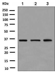 Western blot - Anti-MAD2L1 binding protein antibody [EPR9584] (ab150363)