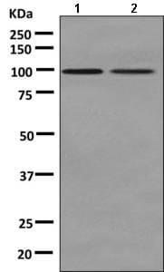 Western blot - Anti-NEK4 antibody [EPR8462] (ab150438)